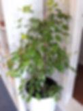 Ficus Reginald in Brussels Diamond.jpg