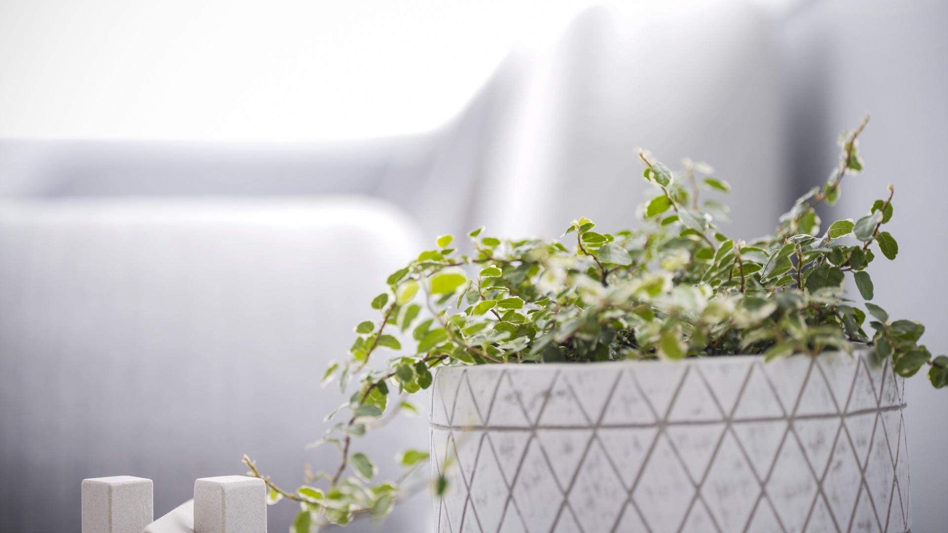 Ficus Frosty.jpg