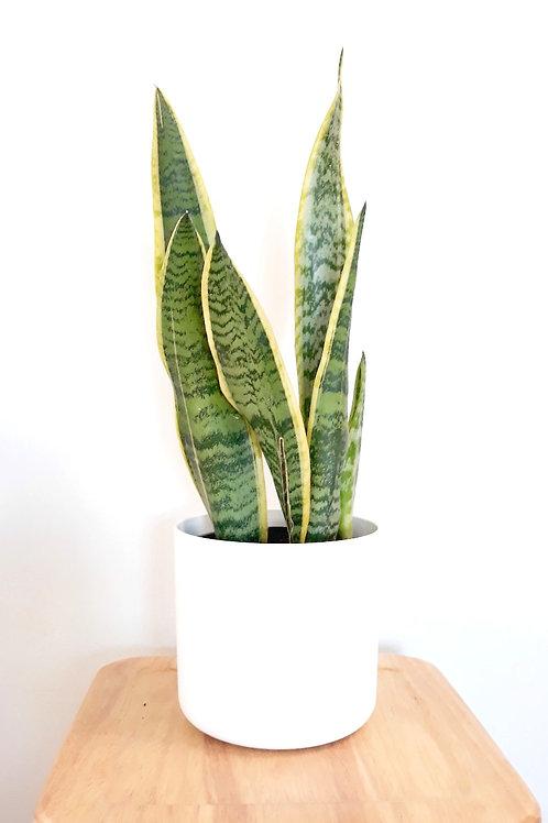 Cool Plant+Pot (White/Anthracite) - SansievieraTrifasciata