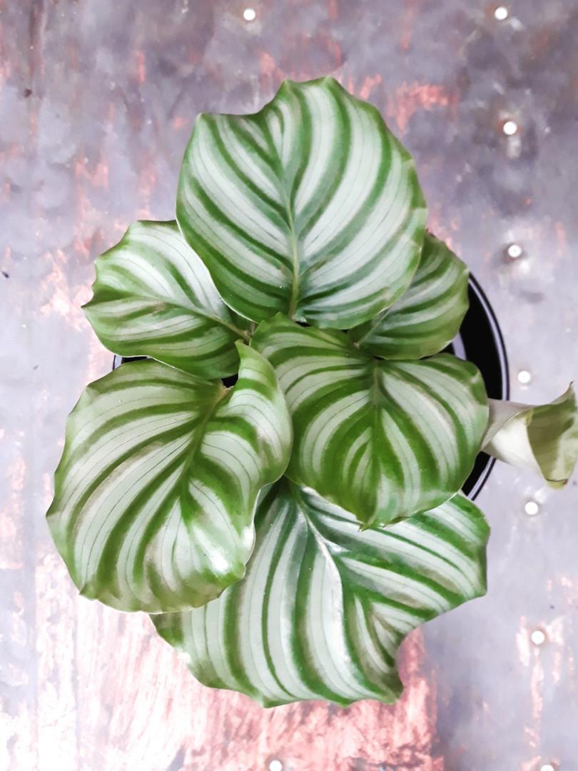 Calathea orbifolia.jpg