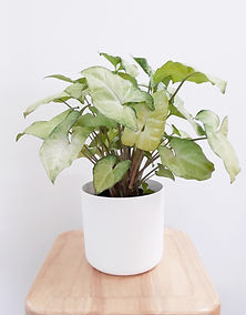 sygnonium white butterfly