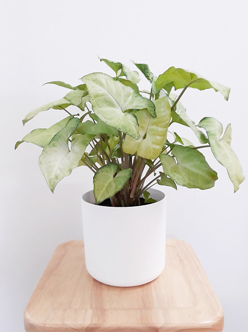 Cool Plant+Pot (White/Anthracite) - Syngonium White Butterfly