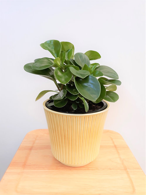 Retro Cool Indoor Plant Package - 4 plants