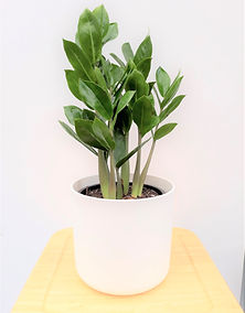 ZZ in white planter (2).jpg