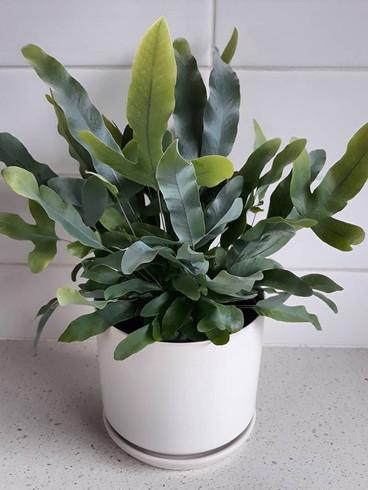 Phlebodium Aureum Blue star fern.jpg