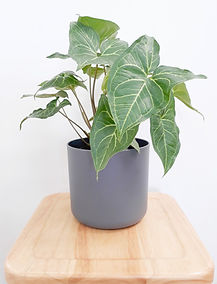 Syngonium Greens Gold anthracite pot.jpg