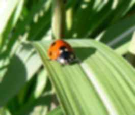 coccinelle permaculture