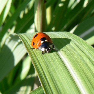 Ladybugs Love to Eat Aphids