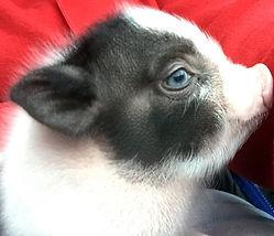 Noel, micro mini pig breeder female
