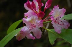 Coast Orchid
