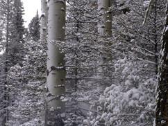 Snowy Apsen