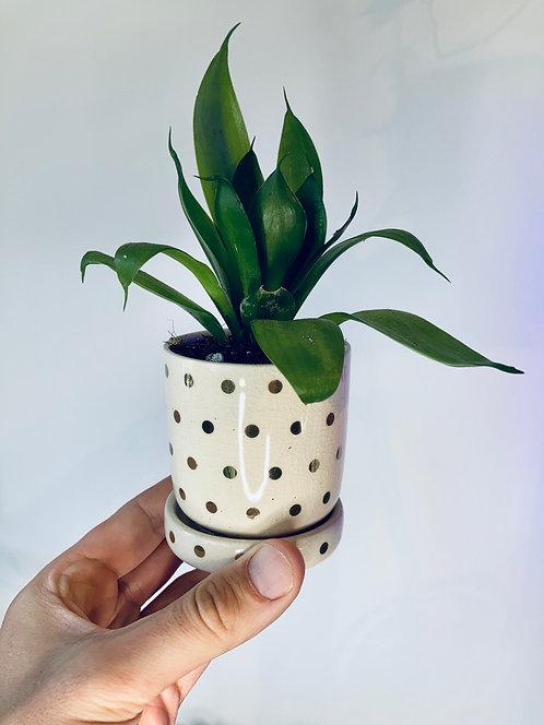 Baby succulent Dottie