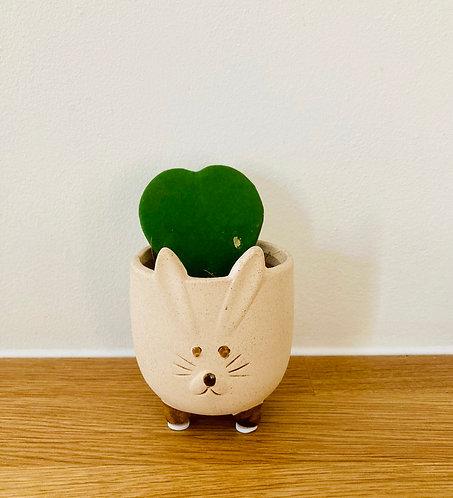 Hoya Rabbit