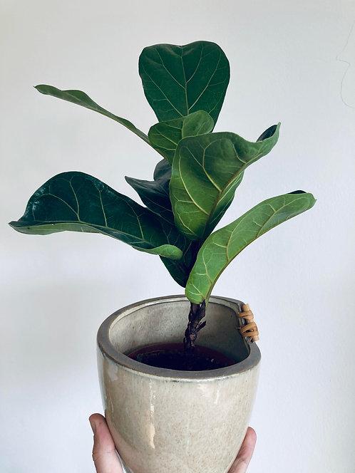 Fiona Ficus