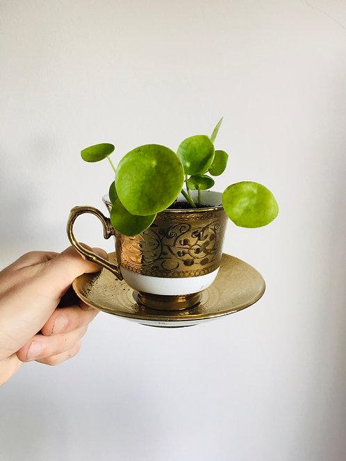 Pilea Teacup