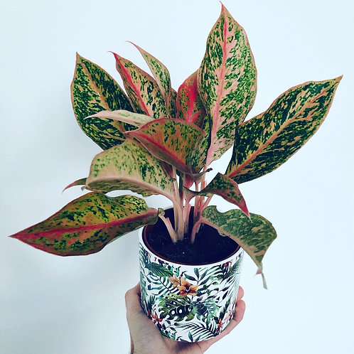 Angel Aglaonema
