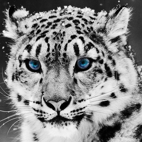 Glaciar tiger