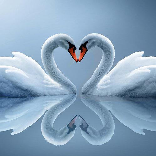 Swans1
