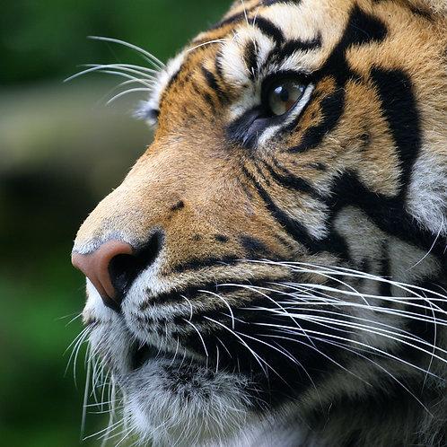 Tiger spot