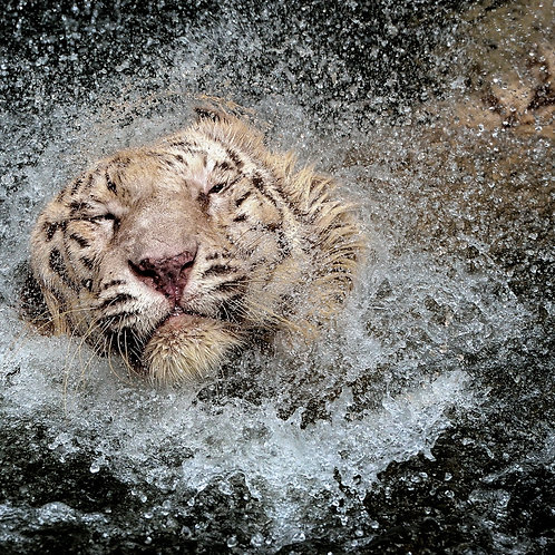 Splash Tiger
