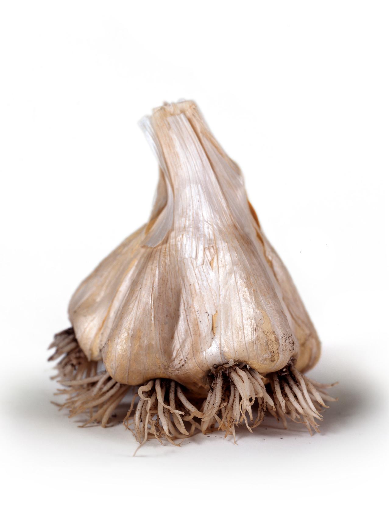 Odiferous Garlic