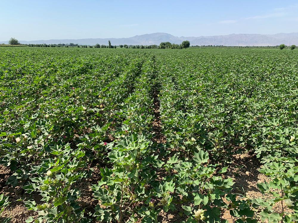 Farnico organic cotton, organic cotton, farnico