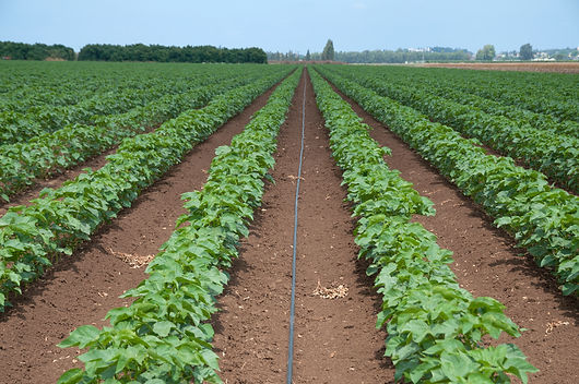 Agriculture and irrigation, cotton field