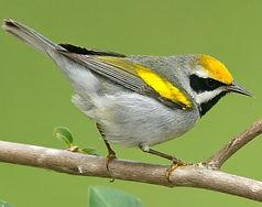 golden-wingedwarbler.jpg