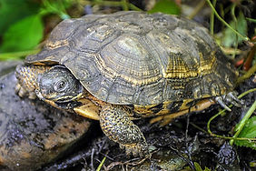 wood_turtle_web-1024x683.jpg