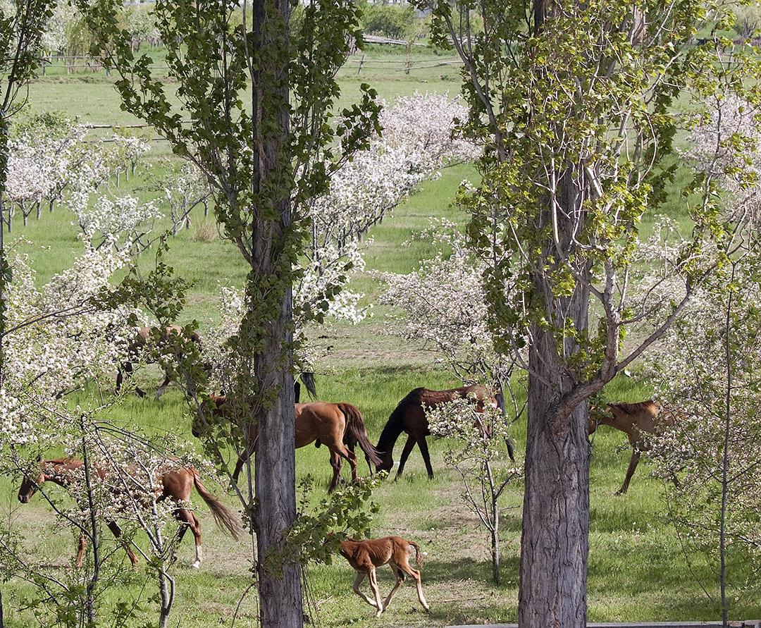 Grazing Horses Kyrgyzstan