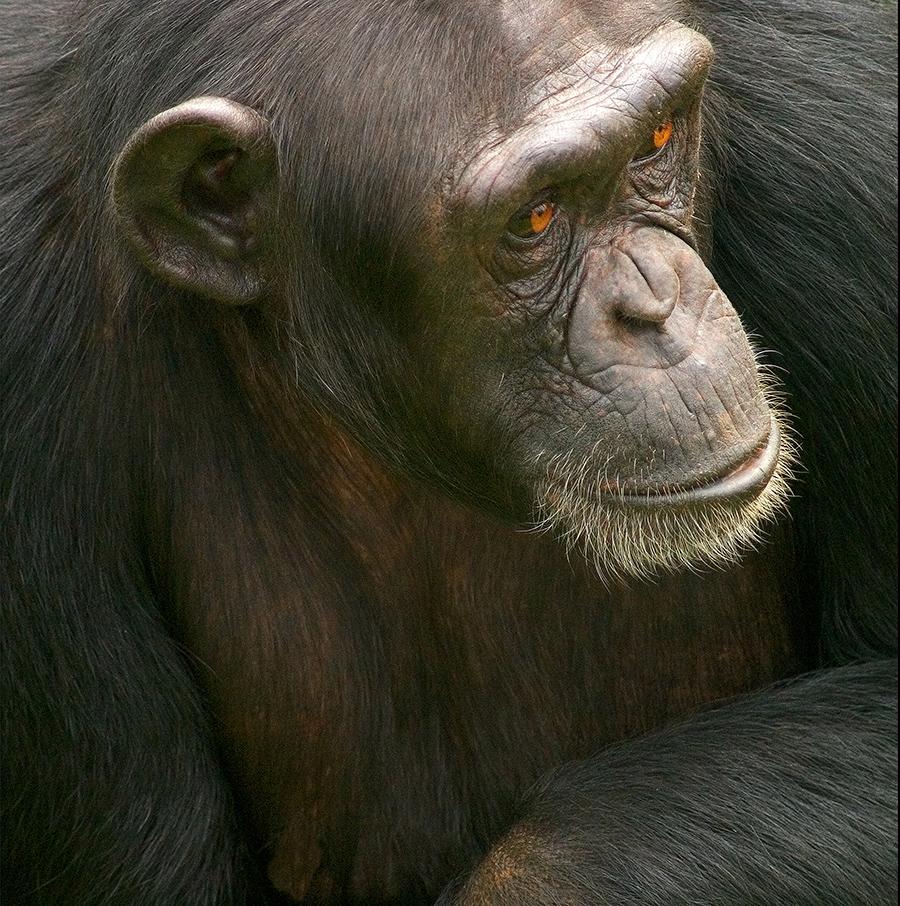 Chimp Victoria