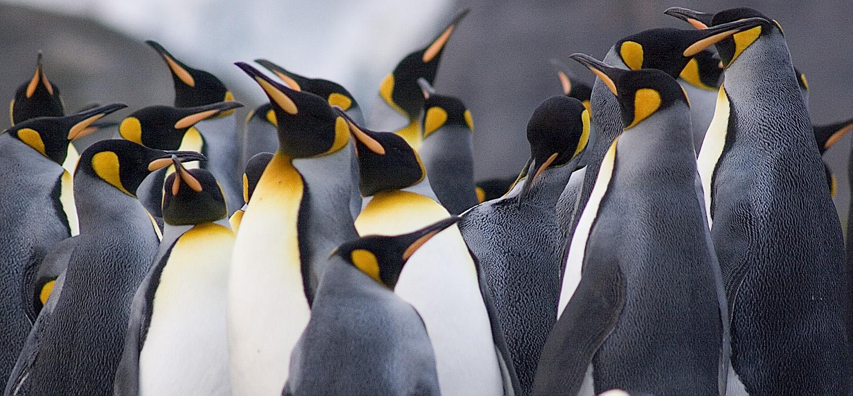 Penguin Kings