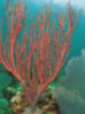 coral three.jpg