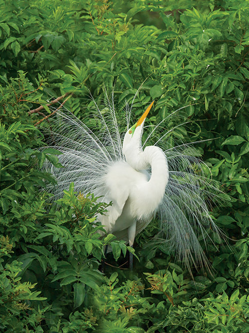 """Great Egret Courtship Display"" 8.5"" x 11"" Photographic Print"