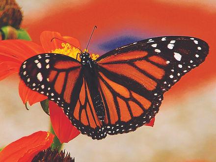 monarch-blair-wainman.jpg