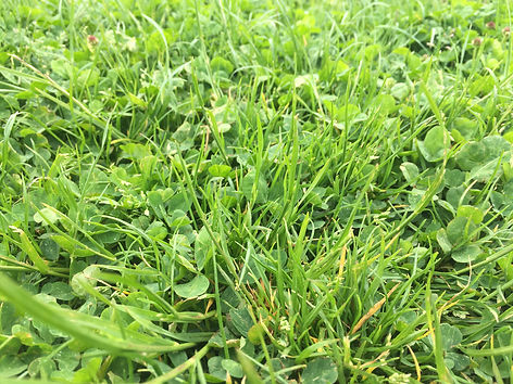 Grass and clover