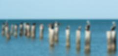 Pelicans 2 - Copy.jpg
