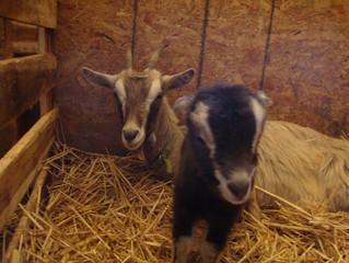 Kidding Season is Upon Us! Fresh, Raw Goat's Milk Coming Soon!