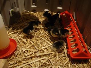 Chicks, Chicks, and More Chicks!