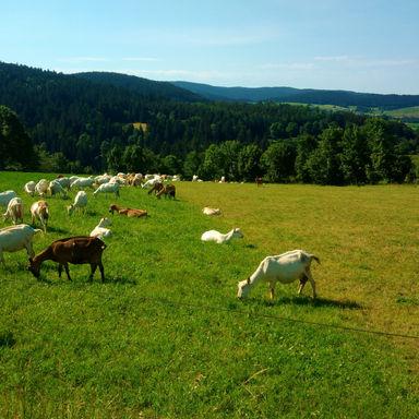 Les chèvres au crêt de chaussitre
