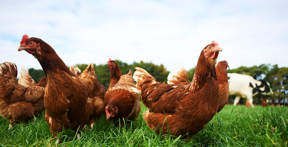 Close up chickens2 CROP.jpg