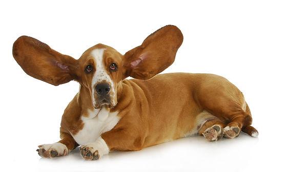 photo-Bassett hound listening 1-2019.jpg