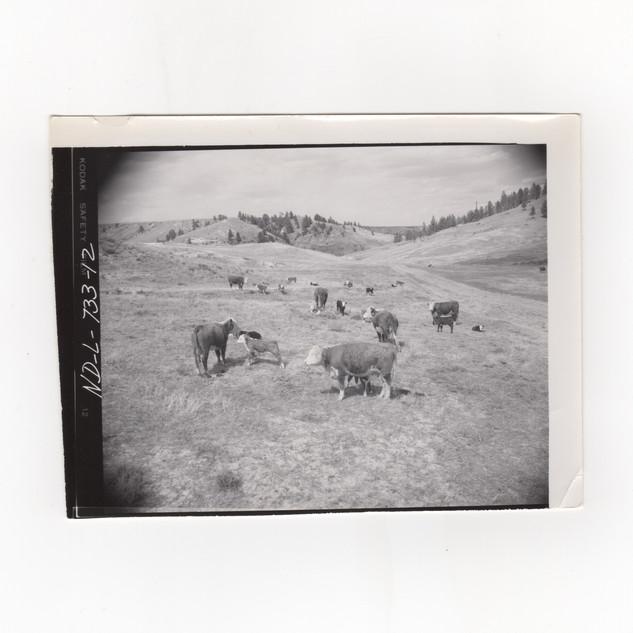 Cattle on Little Missouri Grasslands.jpe