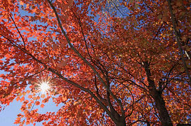usa-new-england-maple-tree-autumn-colour