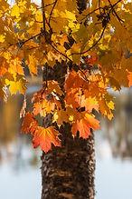 Maple tree in autumn.jpg