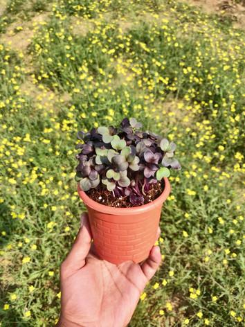 Potted Purple Radish Microgreen
