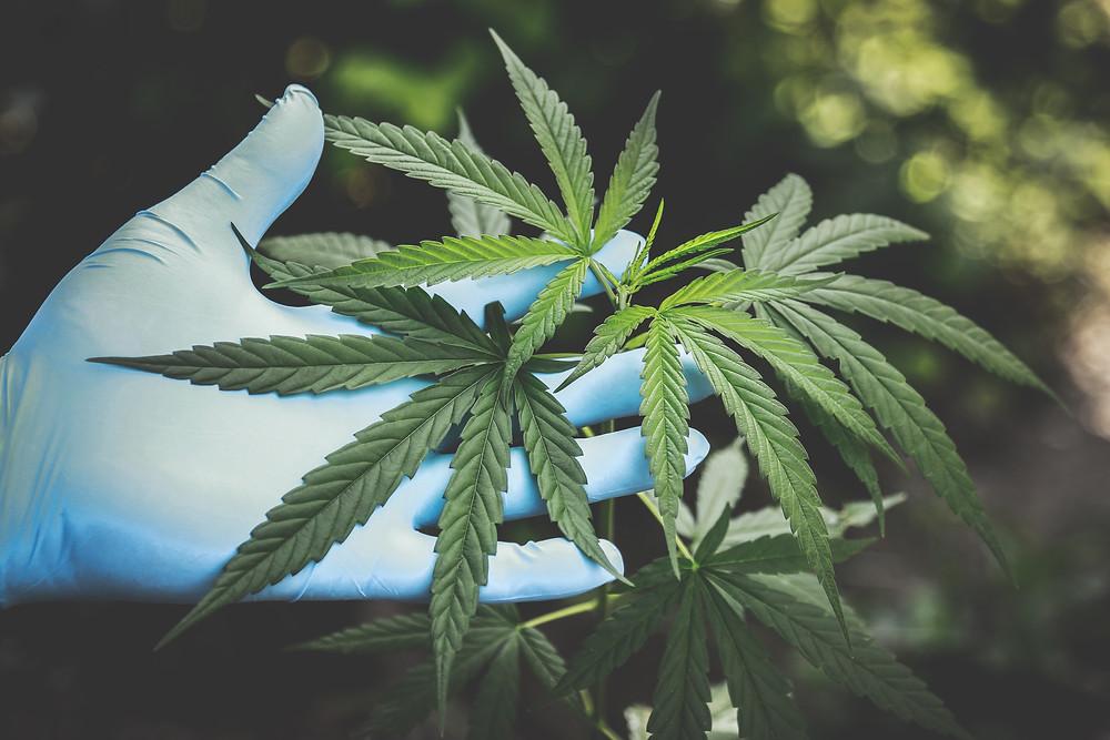 Производство рекреационной марихуаны и каннабиноидов