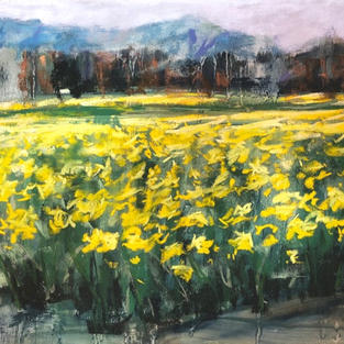 Daffodil field La Conner, Washington