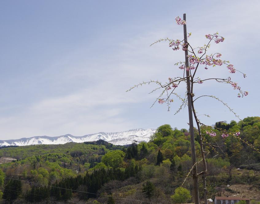 みすゞ桜が元気に咲きました