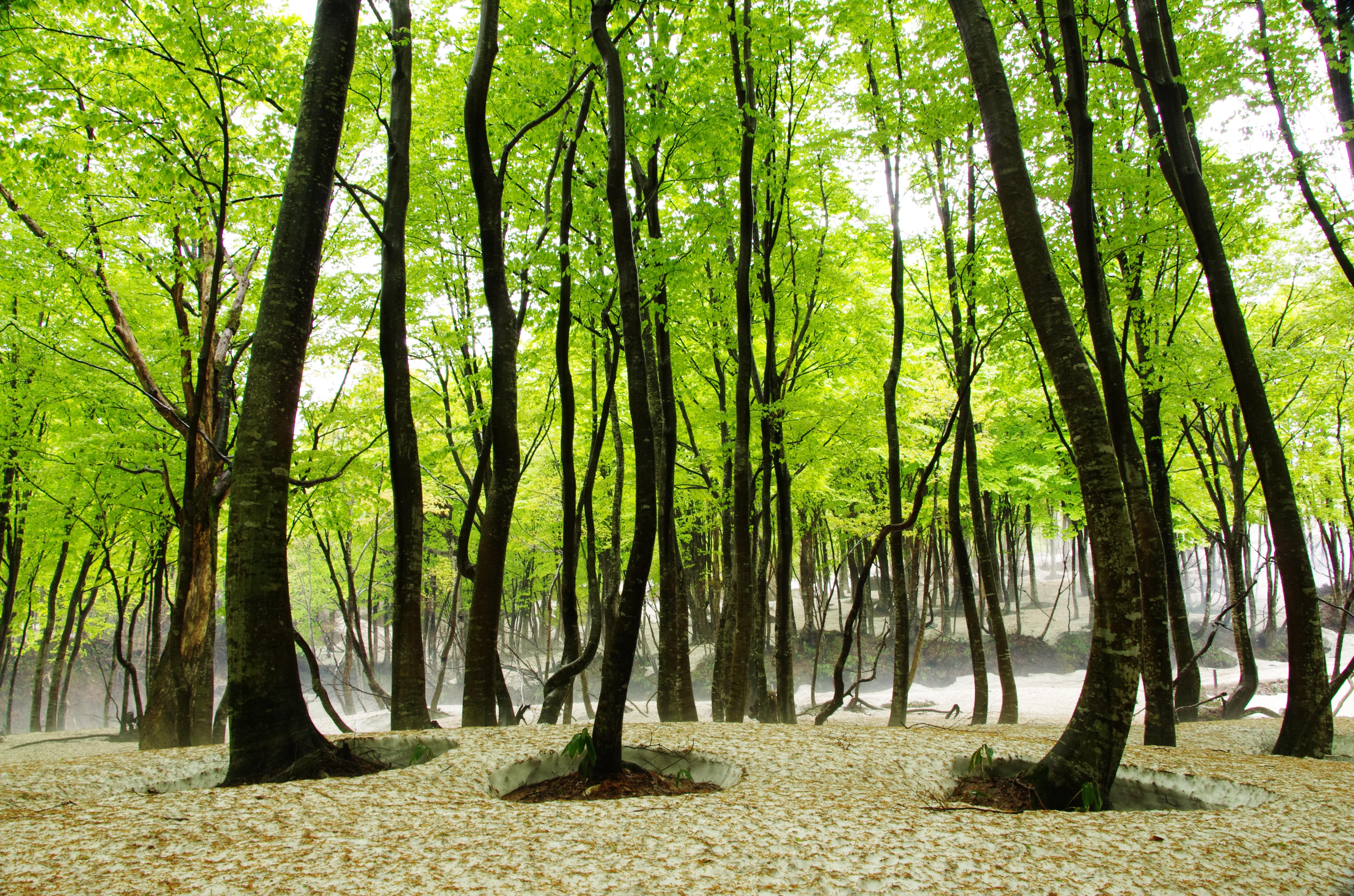 早春のブナ林